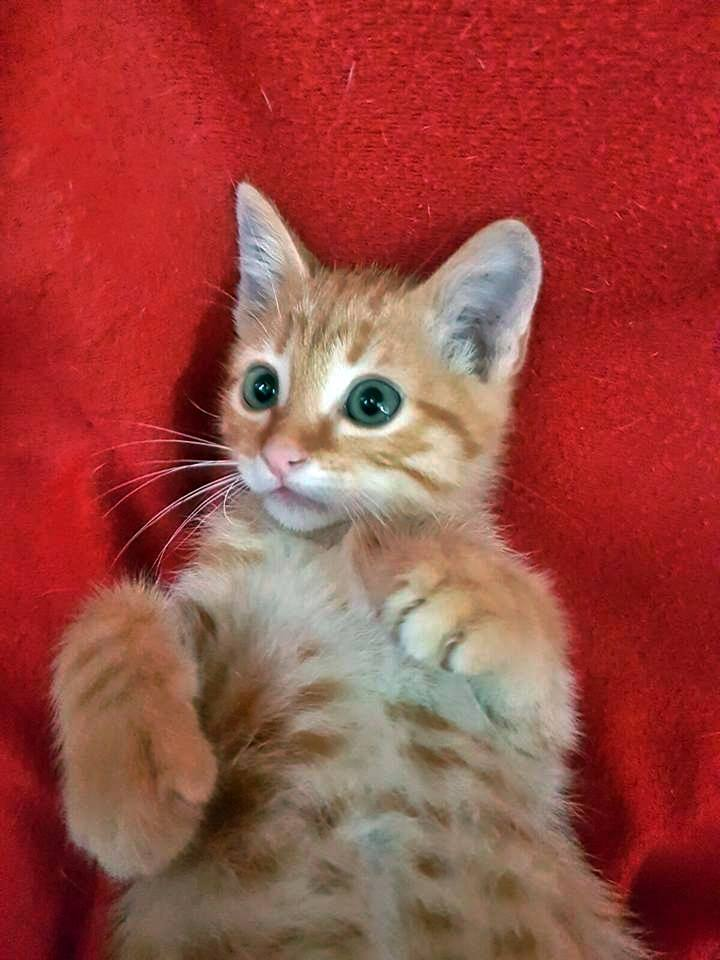 4cc92f16e 8 junio 2016 Matute es otro gatito que fue encontrado en la calle,está muy  asustado pero le encanta que lo cojas para recibir cariño.